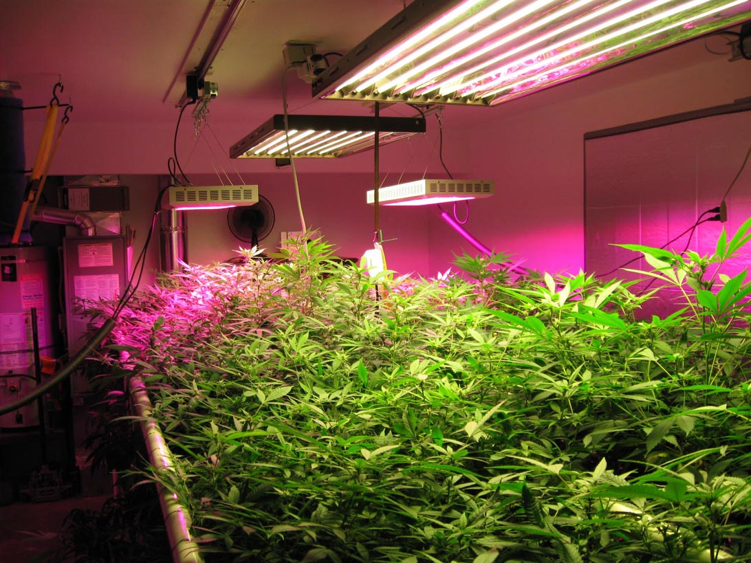 LED Grow Lights in a grow room
